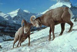 Bighorn_head_butting