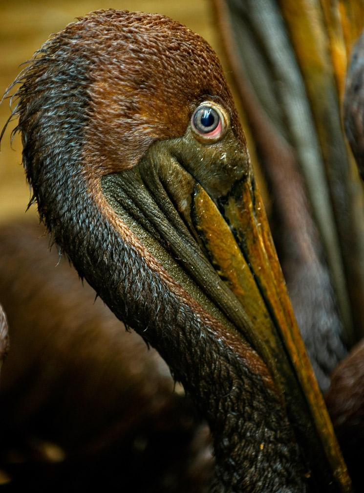 Deepwater_pelican_profile