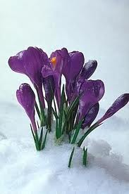 Crocuses_snow