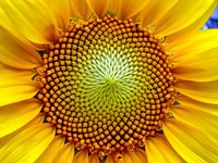 Sunflower_partial