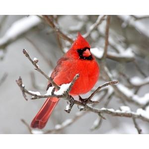 Cardinal_winter