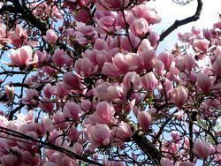 Magnolia_blooms