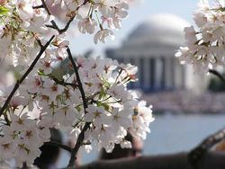 National-cherry-blossom-festival