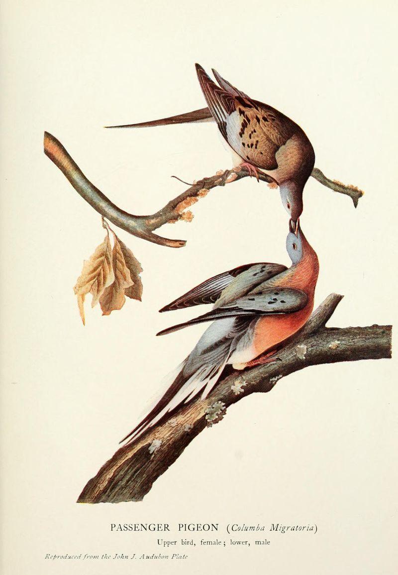 Audobon_passenger_pigeon
