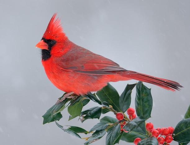 9626_Northern_Cardinal_02-10-2010_2