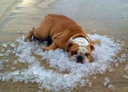 Bulldog-on-ice1