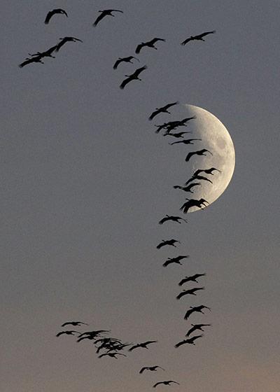 Flock-of-migrating-cranes