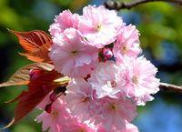 Barerootcherrytree