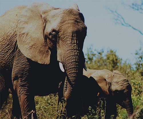 Elephant_cooperation